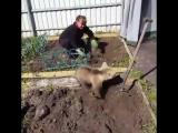 Обычный день в России. Медведь помогает на даче.