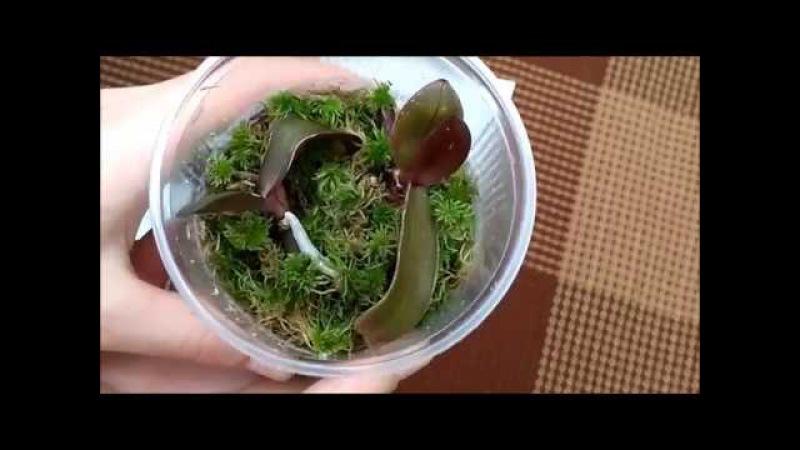 Как вырастить детку орхидеи на срезанном цветоносе. Часть 3. Цветоносы сохнут ....