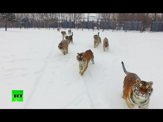 Tigers vs drone: Felines go wild chasing flying prey
