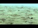 Emperor cichlids limnochormis auritus and neolamprologus ornatipinnis