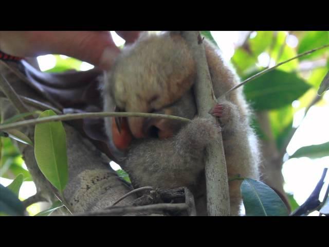 Oso Hormiguero Pigmeo (Silky Anteater) Gran Sabana HD