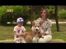 Собака с лисьим характером Корги