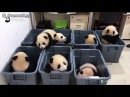 Смешные панды малыши