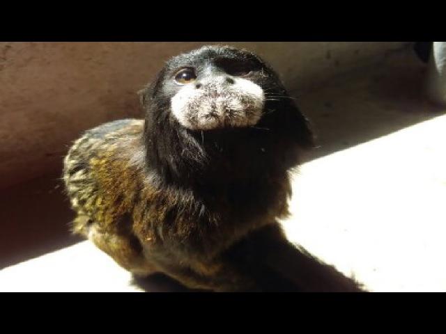 Mono Tití Inquieto y Juguetón