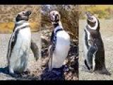 Прикольные пингвины. Нарезка из Аргентины.