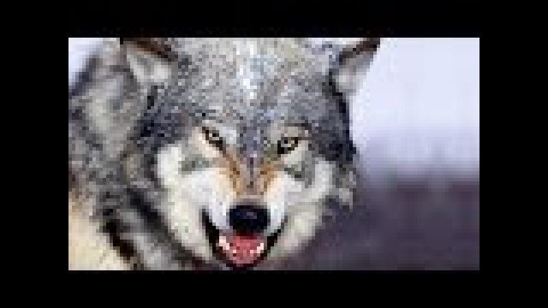 Охота на волка который чуть не съел охотника. В одной секунде от трагедии.