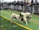 собачьи бои . Бульдозер vs Пацан
