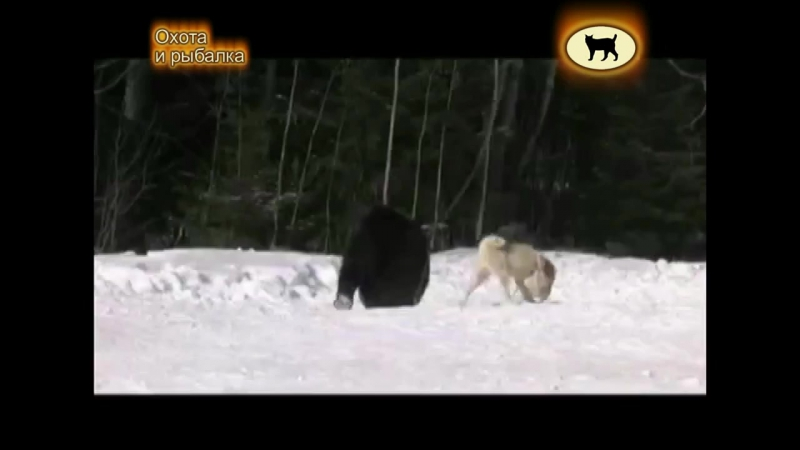 Притравка лаек на медведя и кабана