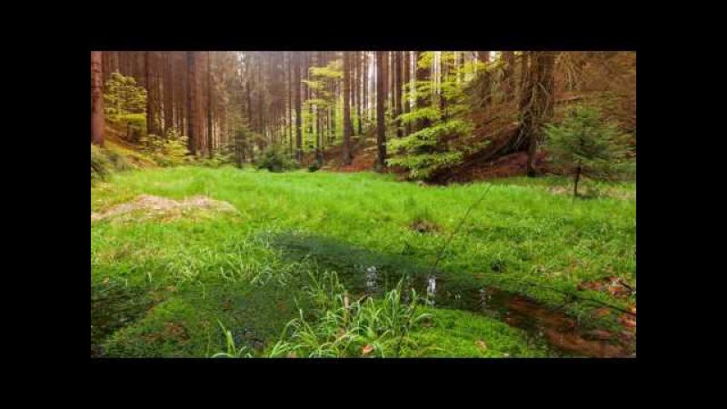 Звуки живой природы Пение птиц Усыпляющий, расслабляющий релакс Sounds of wild nature Bird s...