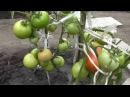 Помидор сорт БАГИРА, описание, опыт выращивания