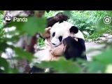 Panda Daili's morning routine...