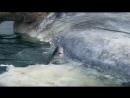 BBC Natural World 2009 - Great White Shark, A Living Legend (HDTV)