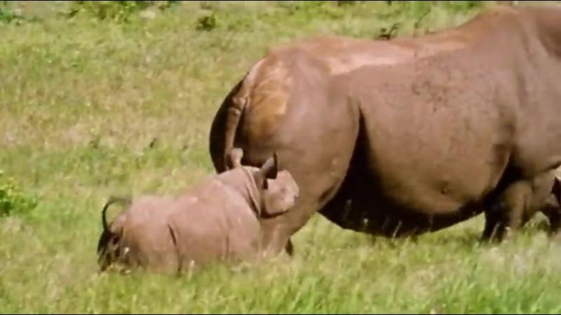 Твои весёлые друзья-зверята - 33 серия - Чёрный носорог Роули