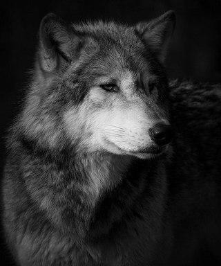 картинки на аву волки в вк