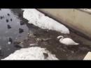 Смотрю и УЖАСАЮСЬ...Мы поганим нашу планету...МЫ-ЛЮДИ Лебедь чистит водоем для своих птенцов........