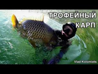 Трофейная подводная охота. Гигантский КАРП 15кг в мутной воде. Spearfishing Carp.