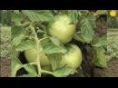 Агротехника нацелена на успех Для томатов посеянных 20 апреля