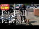 Питбуль Милуоки Полицейская Нюхающая Собака. Обнаружение наркотиков.
