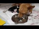 Басенджи- африканская нелающая собака. Щенки Едзен × Ирбис. корм БЛИЦ Цыпленок с рисом
