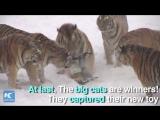 Как большие кошки устроили охоту на дрон.