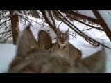 Рысь поймала зайца. Удачная съемка на фотоловушку (со звуком).