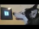 Поющая_собака1