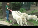 Zoo Berlin- Wolves Feeding Wolf Fütterung - White Arctic Pack of Wolves - Great Scene
