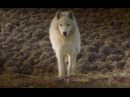 Cameraman Has Close Encounter With Wolves | Snow Wolf Family And Me | BBC