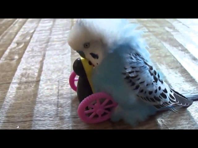 Пластмассовая подруга попугая Вот она, безответная любовь