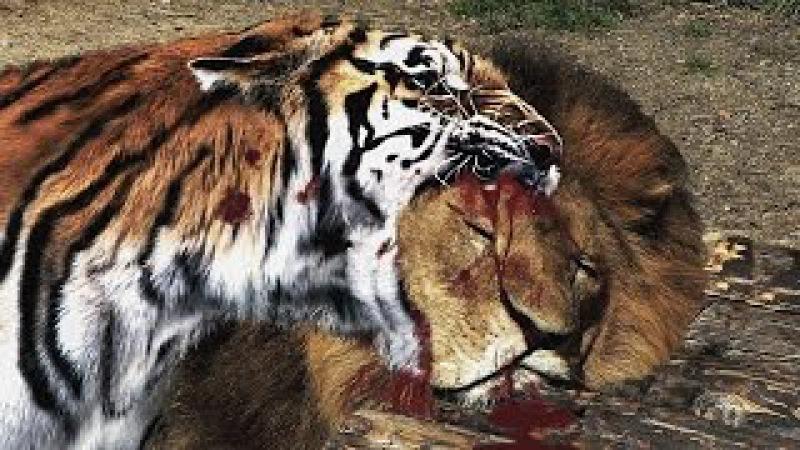 Hổ vằn đại chiến vua sư tử trận chiến một mất một còn - lion vs tiger