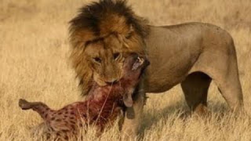 Sư tử đại chiến linh cẩu cuộc chiến của những vị vua | lion vs hyenas