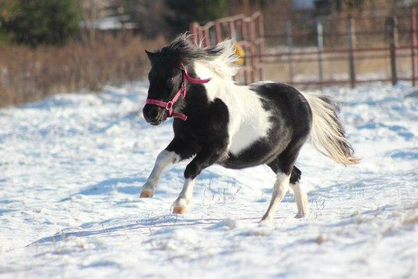 Продаются племенные шетлендские кобылы пони.  1. Рыже-пегая Шардоне, 2