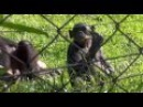 Bonobo Sanctuary in Kinshasa