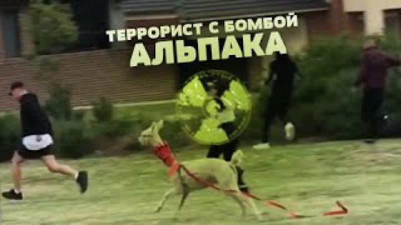 Террорист с бомбой АЛЬПАКА! TERRORISTwith bomb Alpaca!Территория ПРАНКОВ7