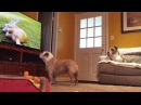 Hidden Camera Captures Two Bulldogs Interacting With TV Program HYSTERICAL