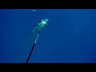 Shark_attack_on_spear_fisherman_for_yellowfin_tuna_at_Ascension_Island_yapfiles.ru
