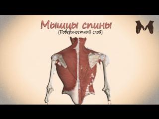Поверхностные мышцы спины (детальный обзор)