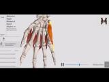 Мышцы кисти - детальный обзор 3д.