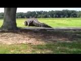 🐊 Гигантский аллигатор словно динозавр разгуливает по городскому парку! 🐊