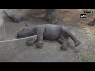 Милый детеныш носорога