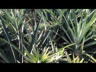 Как растут ананасы (Таиланд)