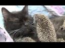 Кошка стала мамой для осиротевших ежат
