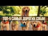 ТОП-5 самых дорогих собак_2