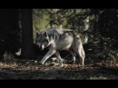 New Animal Documentary gray wolf - animal planet National Geographic