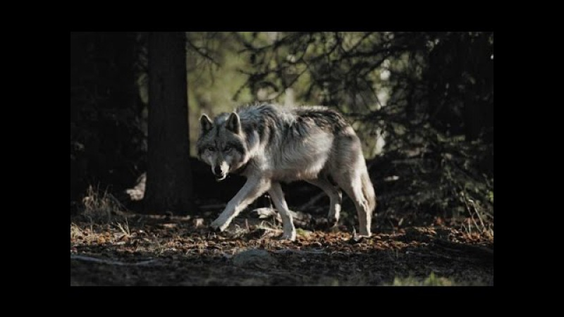 New Animal Documentary | gray wolf - animal planet | National Geographic