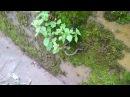 Армия муравьев убивает змею Army of ants take on large snake