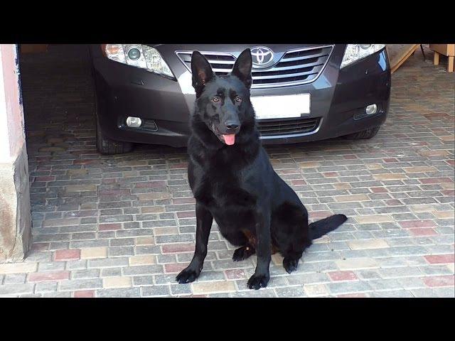 Знакомьтесь Блэк 😎 Восточноевропейская овчарка 1 год East European Shepherd Dog 1 year