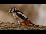 Дятлы, снегири и другие подмосковные птицы (рассказывает орнитолог Евгений Коблик)