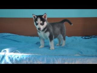 Звезда YouTube 1,5 мес щенок Сибирской хаски