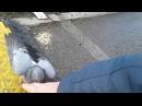 Самый борзый в мире голубь